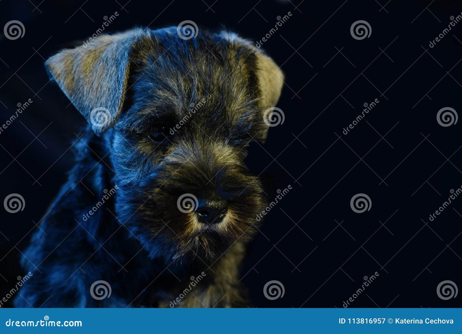 Cachorrinho do Schnauzer diminuto fora dos pais do campeão