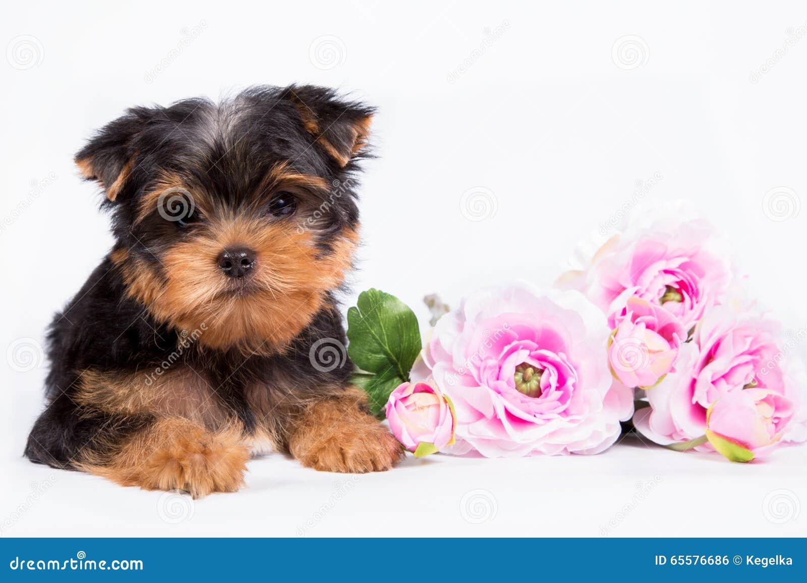 Cachorrinho do yorkshire terrier com um ramalhete de flores cor-de-rosa