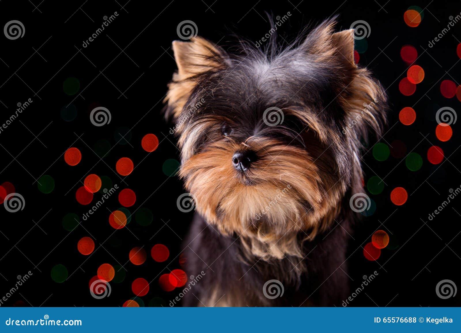 Cachorrinho em um fundo preto