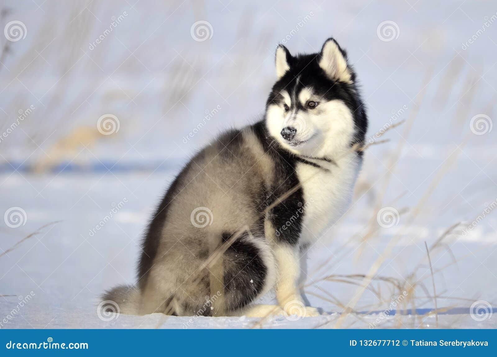 Cachorrinho macio preto e branco ronco Siberian do woolie que senta-se no th