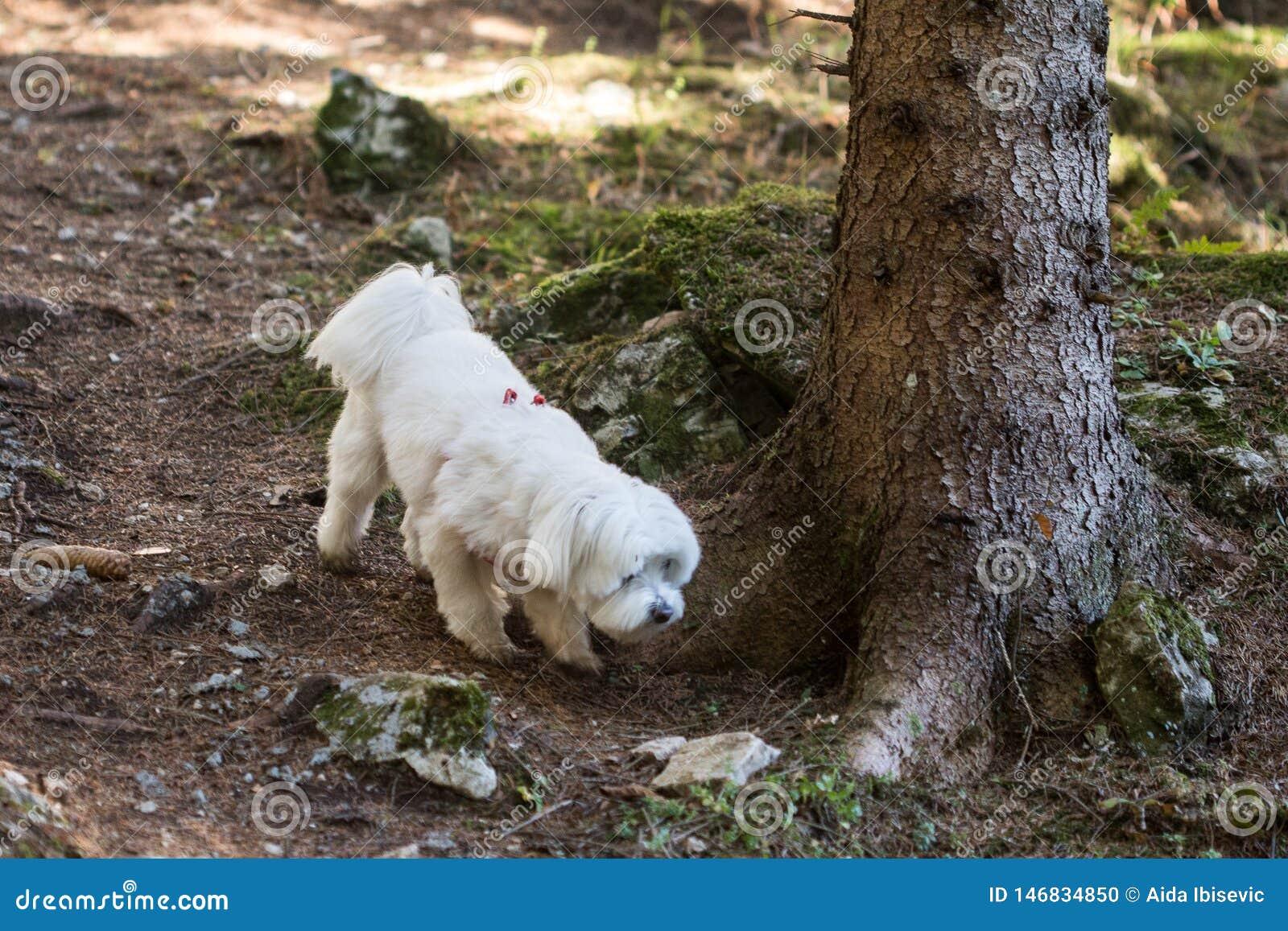 Cachorrinho maltês fêmea que anda na floresta