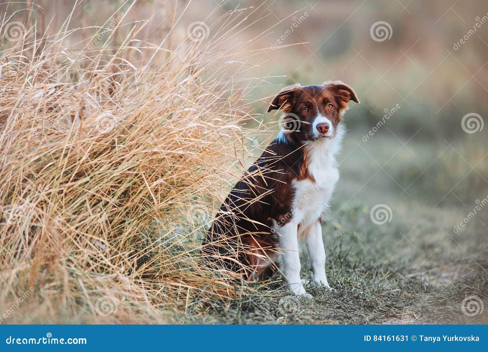 Cachorrinho novo bonito de border collie que senta-se no campo em um fundo da grama alta