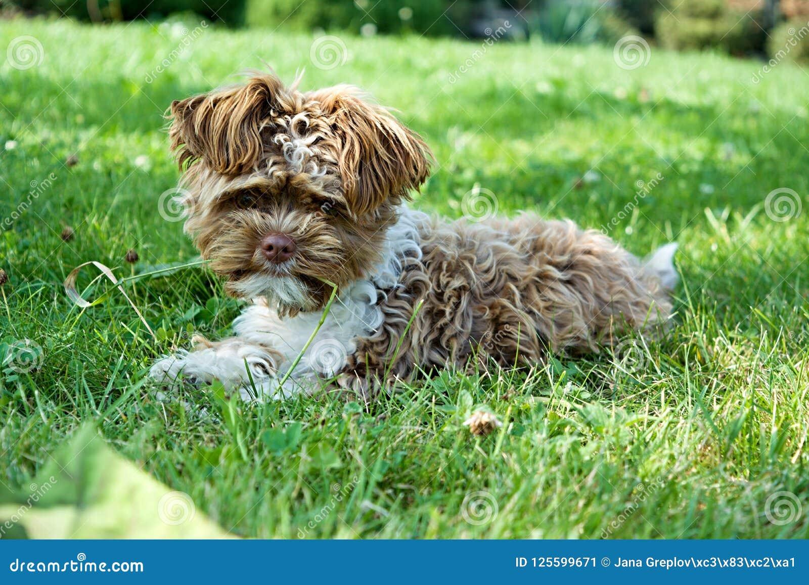 Cachorrinho pequeno do frisé do poil do ¡ de Bichon Frise Bichon Ã
