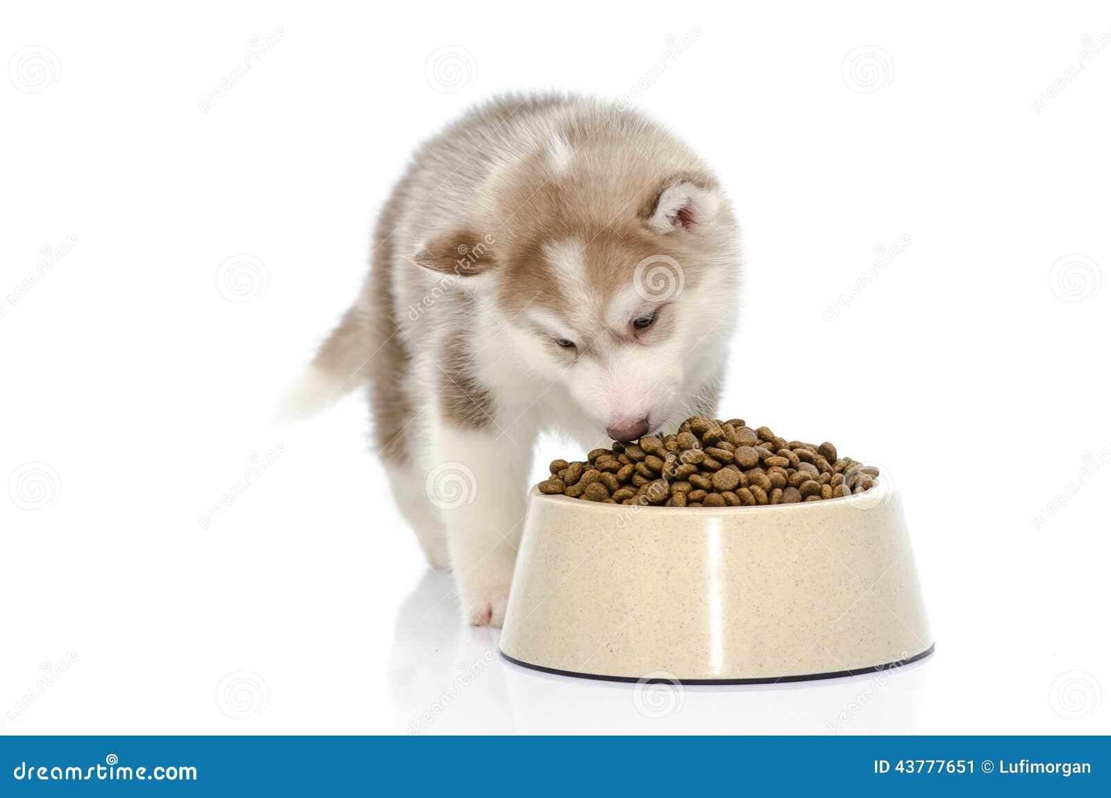 Cachorrinho que come o alimento