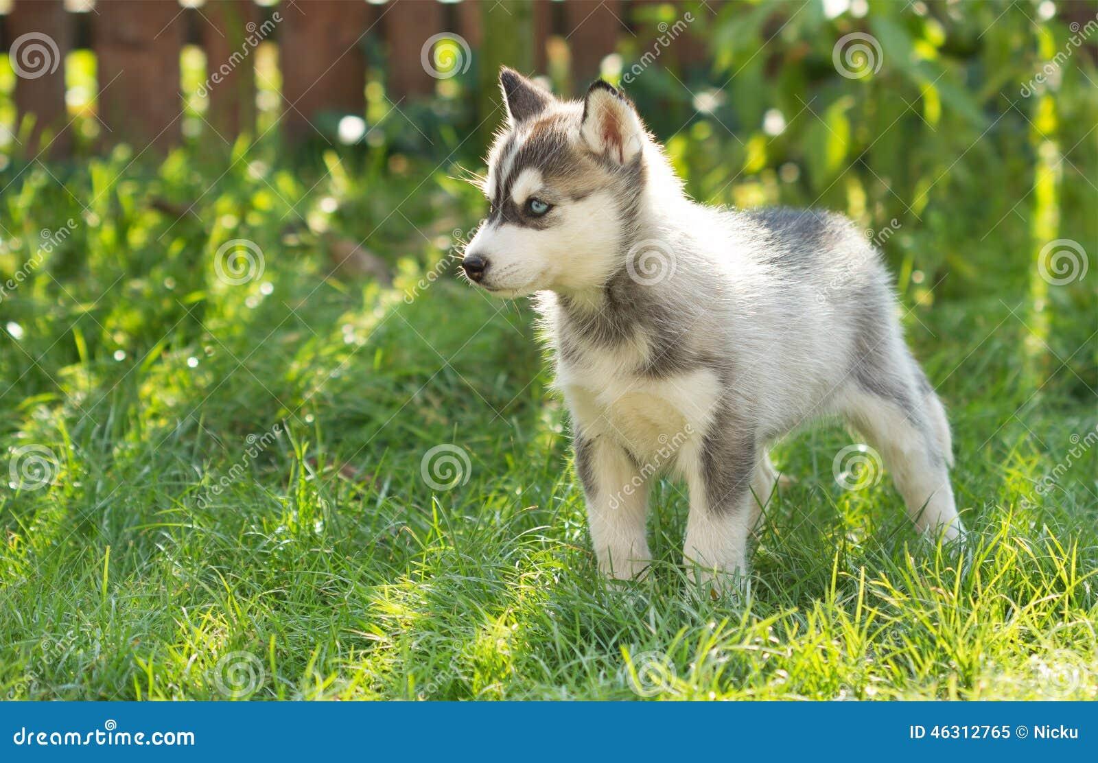 Cachorrinho ronco na grama