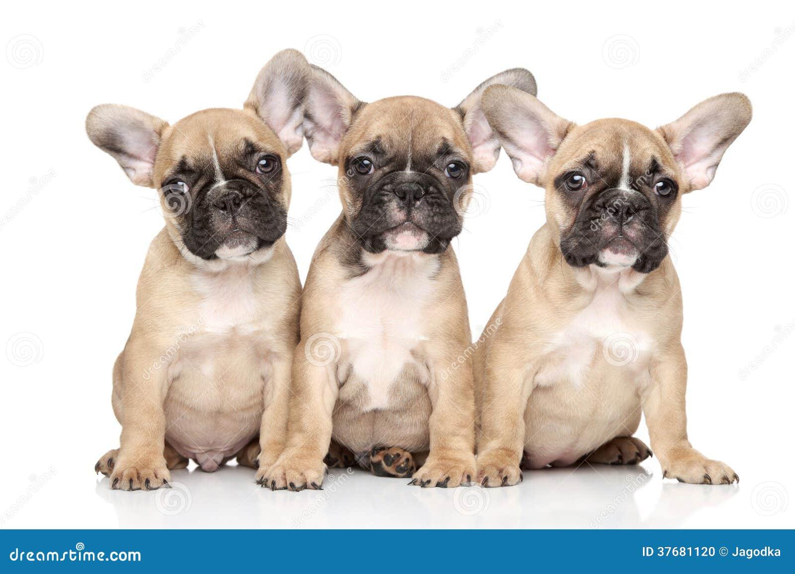 Cachorrinhos do buldogue francês