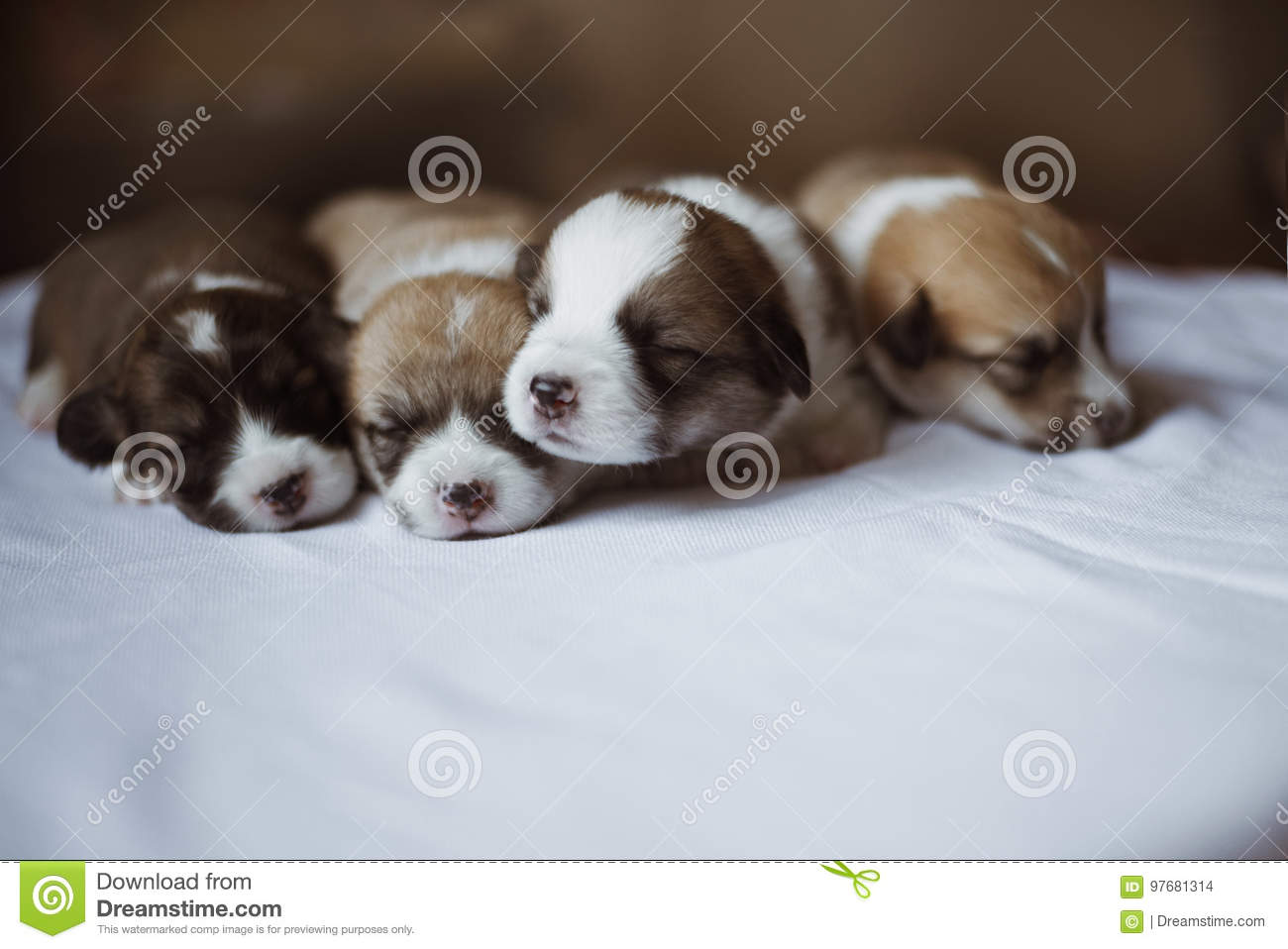 Cachorrinhos do Corgi/sessão do Corgi/estúdio com cachorrinhos do Corgi