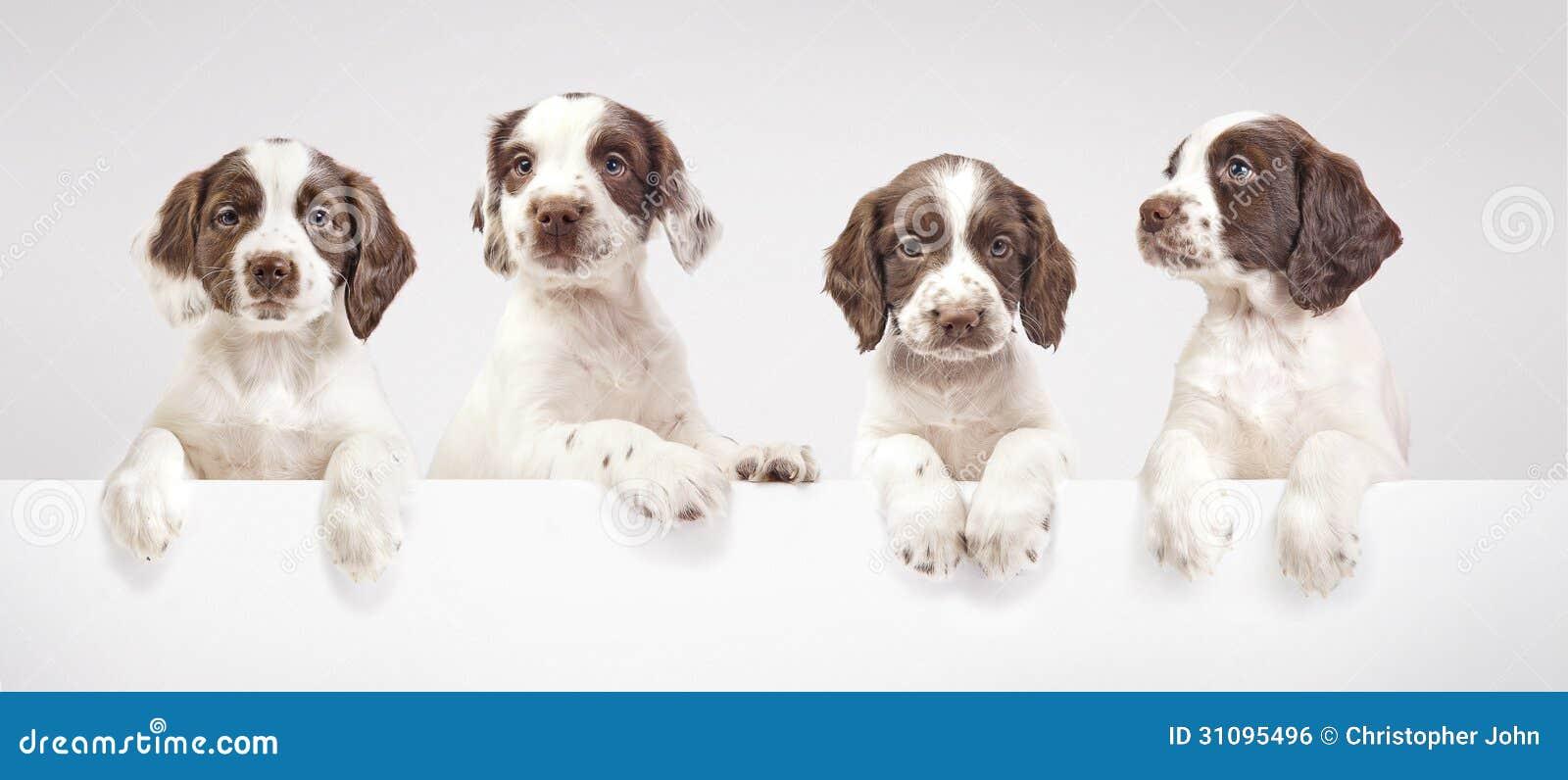 Cachorrinhos do spaniel