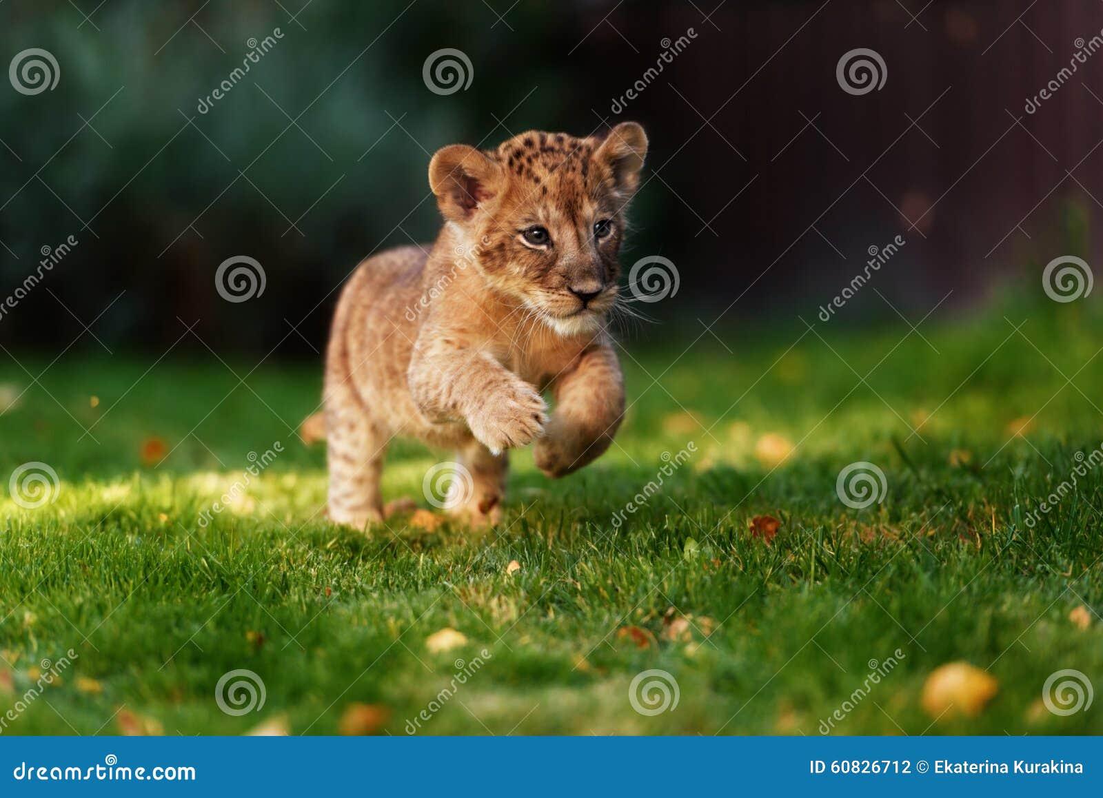 Cachorro de león joven en el salvaje