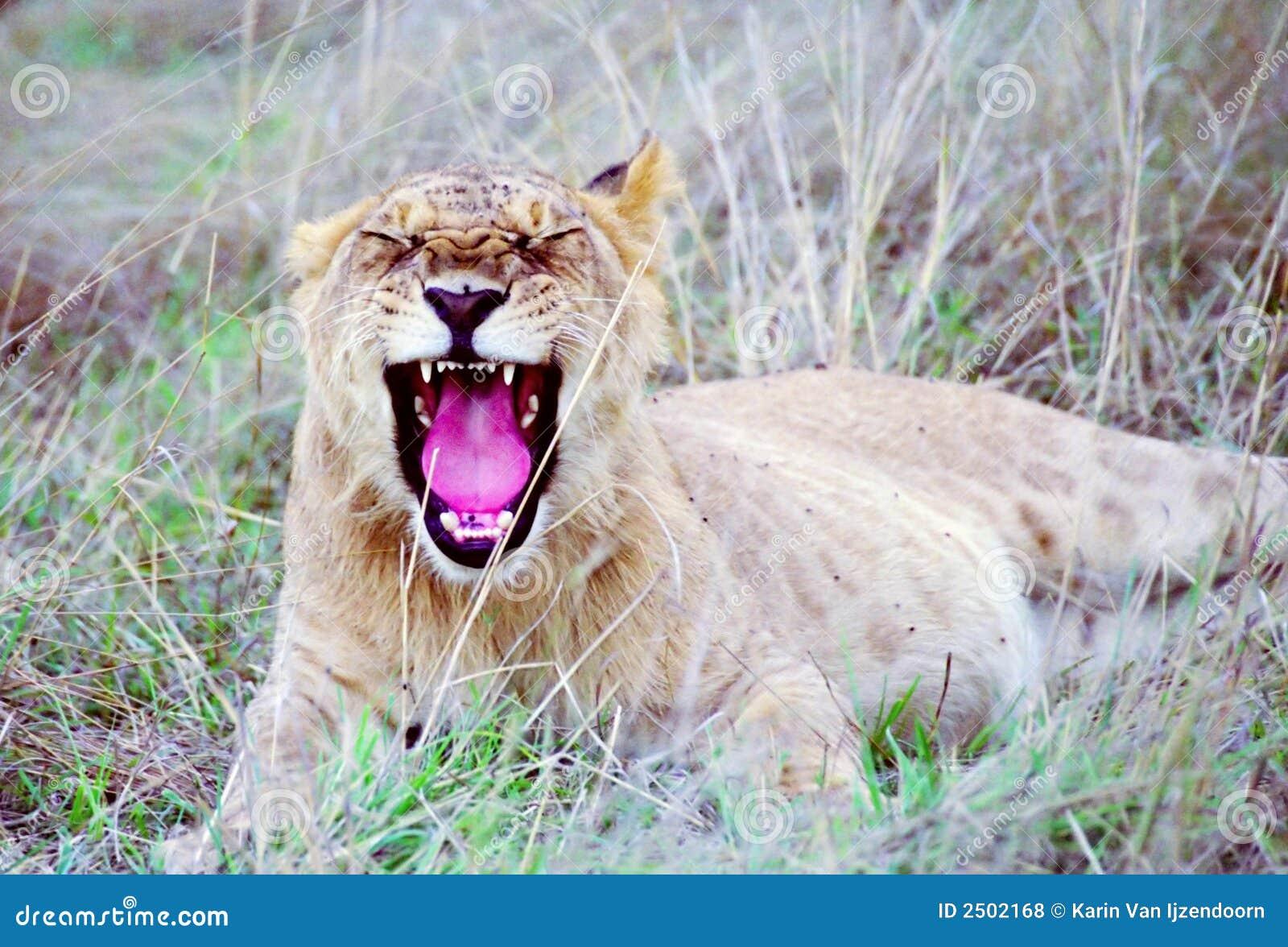 Cachorro de león que bosteza