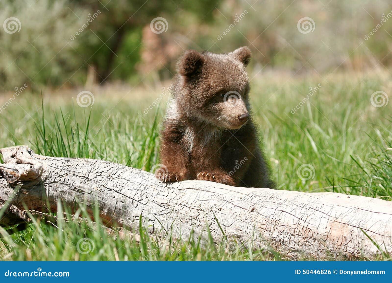 Trabajar en el zoo: Cuidados del oso pardo