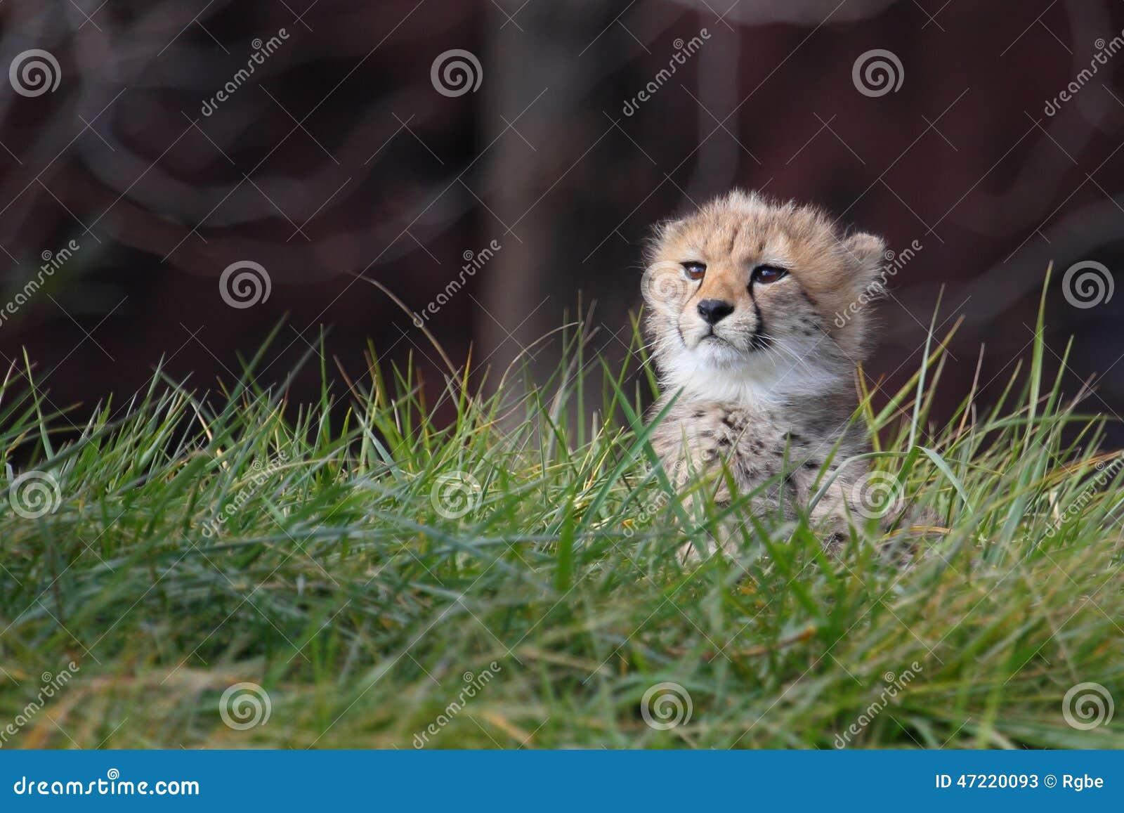 Cachorro del guepardo