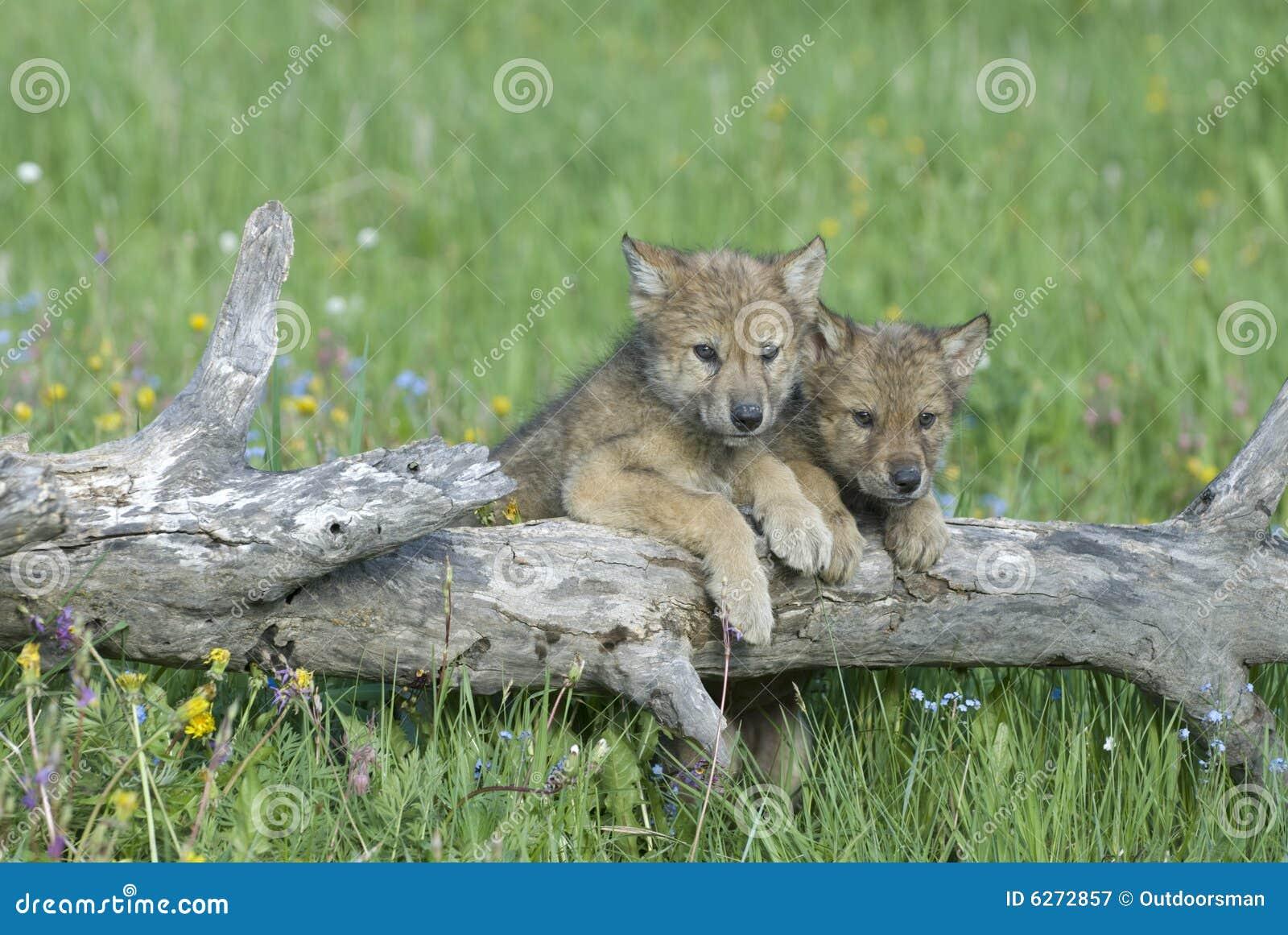 Cachorros de lobo gris
