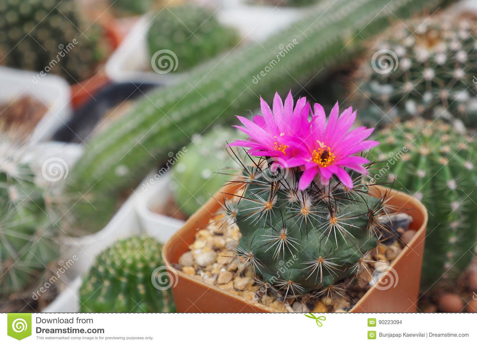 Cactaceaen