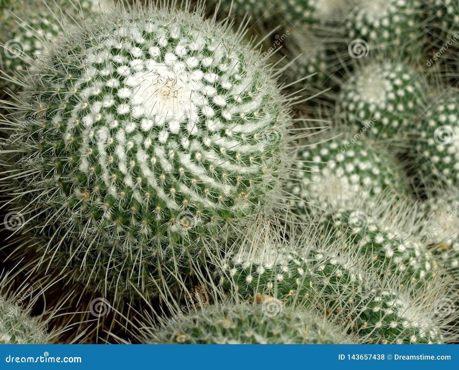 Cacti, cactus, plant, succulent, thorny