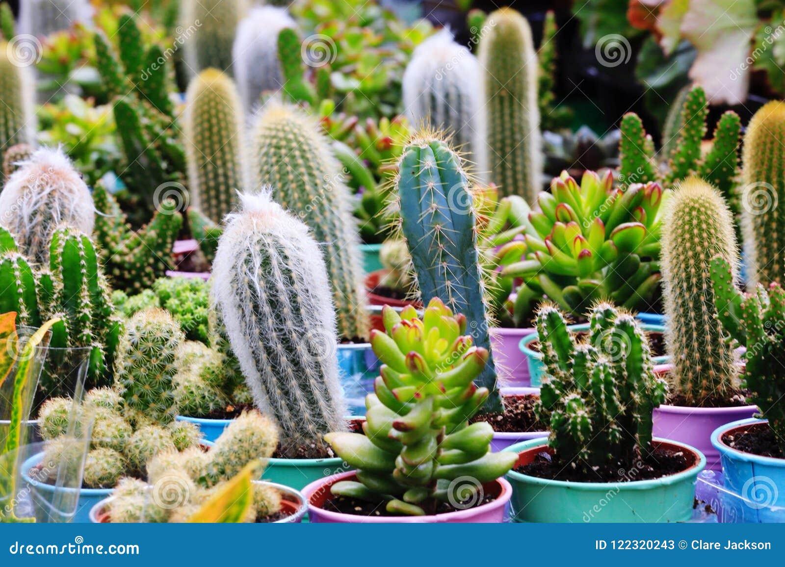 Cacti cactus and succulents