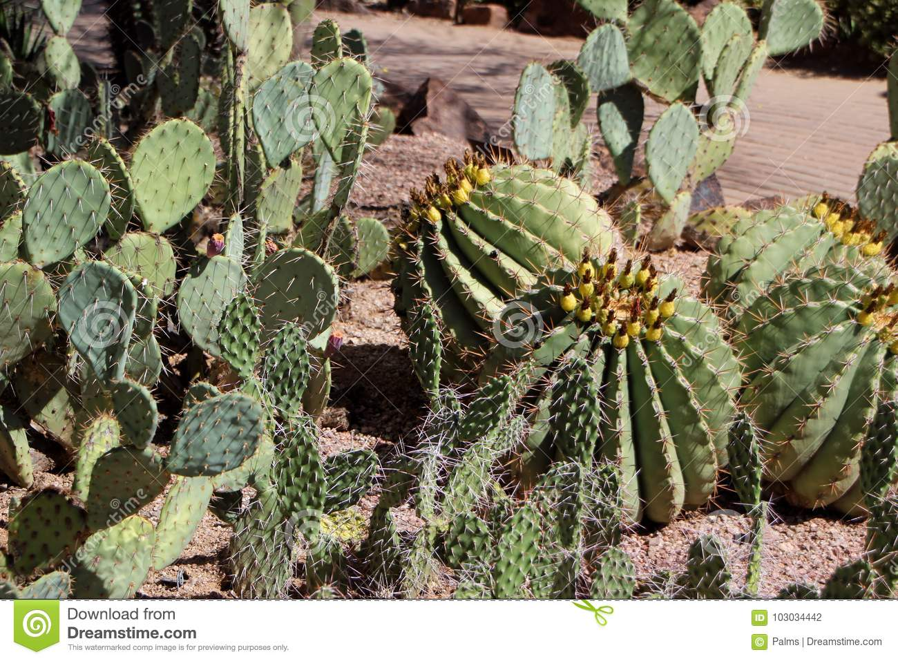 Cacti In Desert Botanical Garden Phoenix Stock Photo - Image of ...