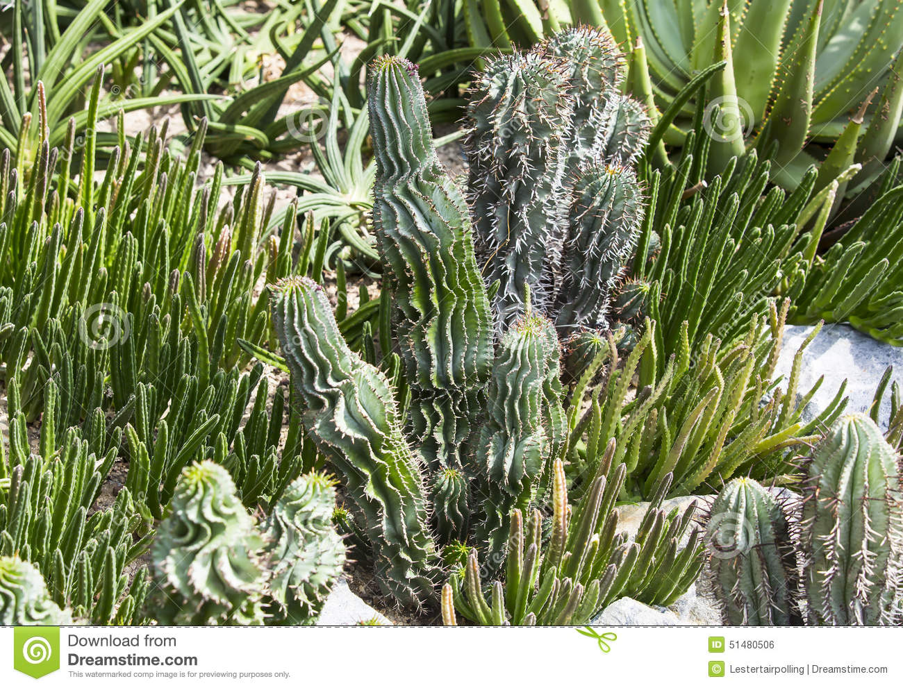 Cacti Stock Photo Image 51480506