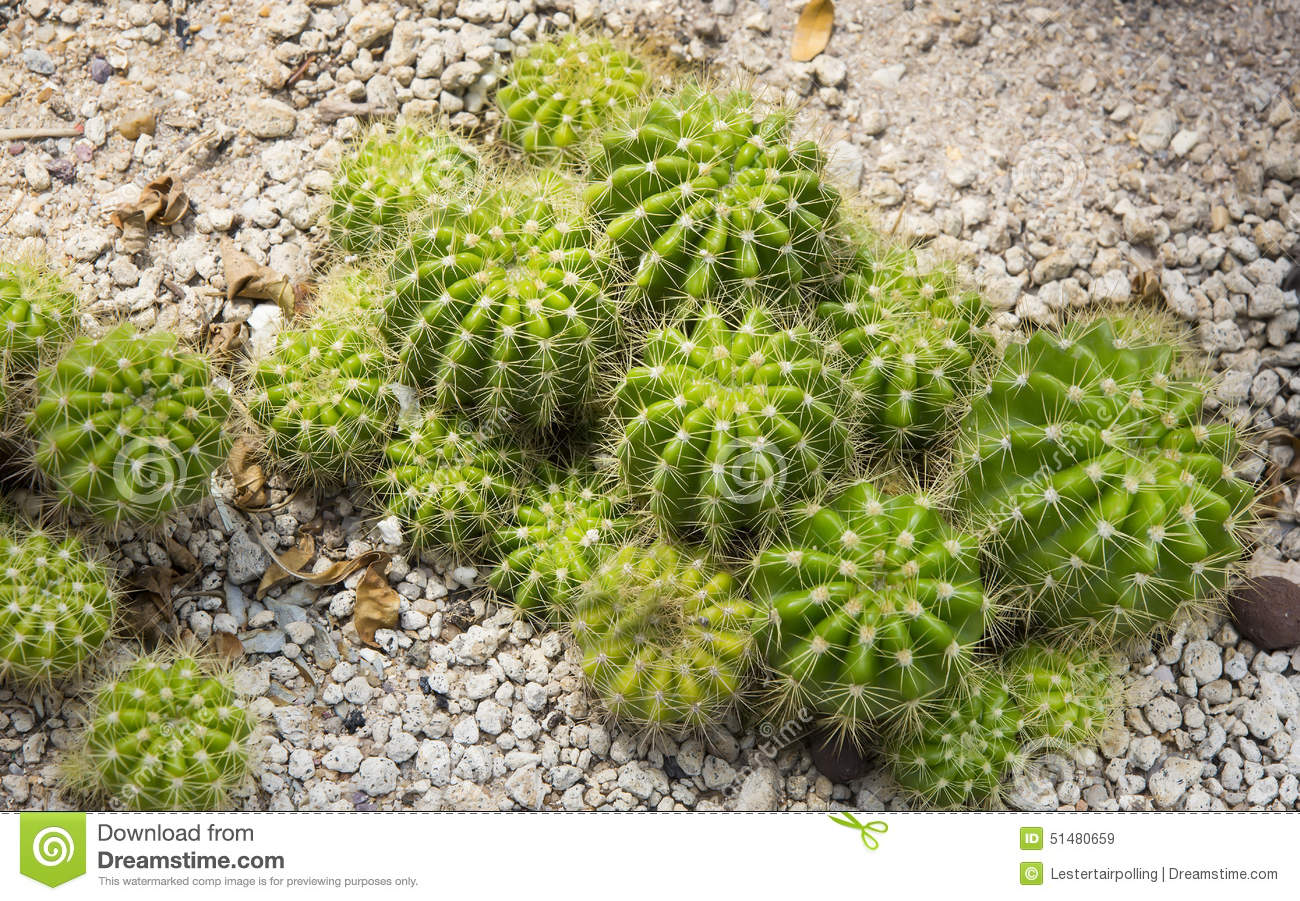 Cacti Stock Photo Image 51480659