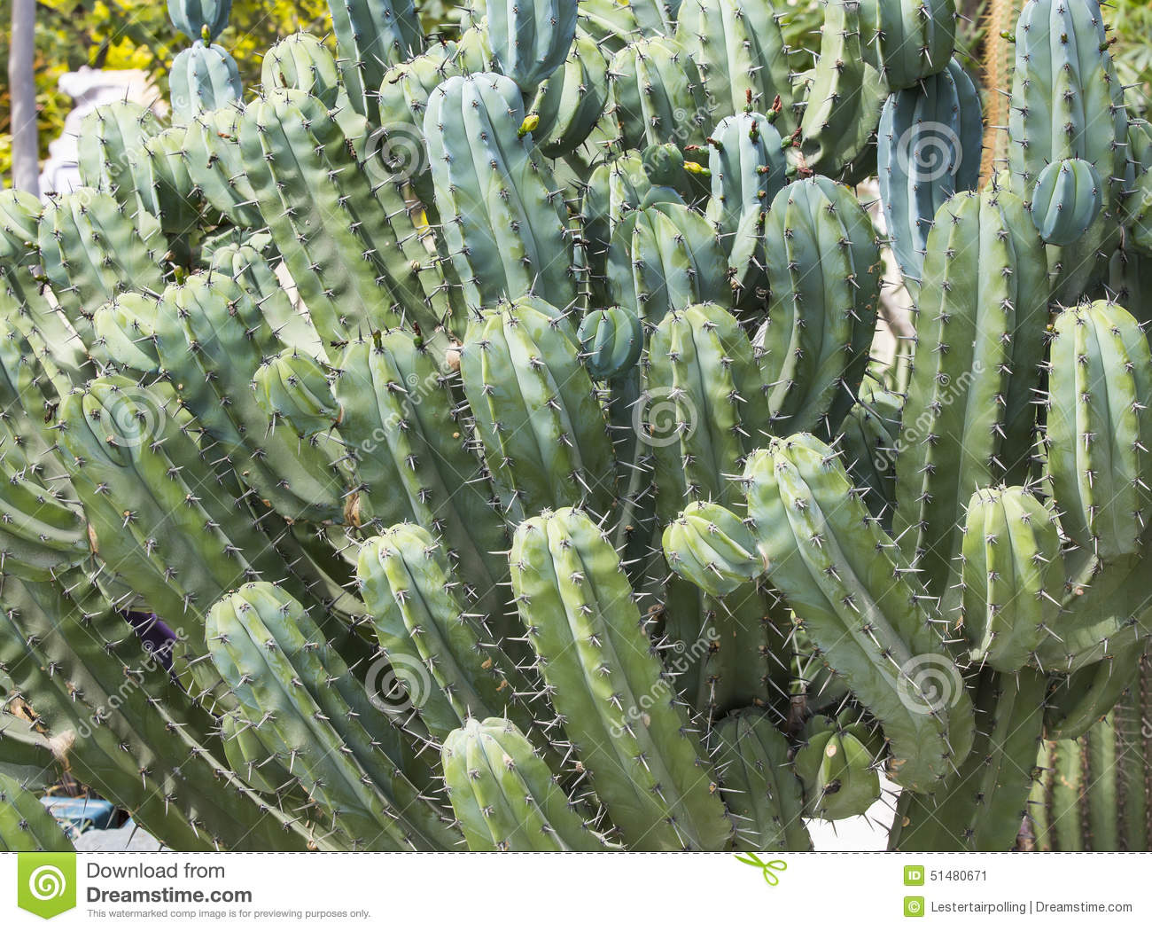 Cacti Stock Photo Image 51480671
