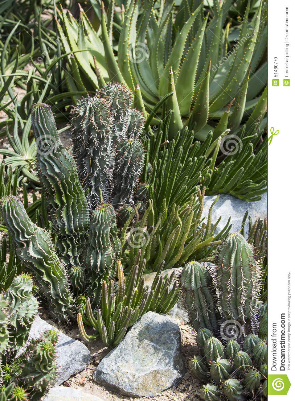 Cacti Stock Photo Image 51480770