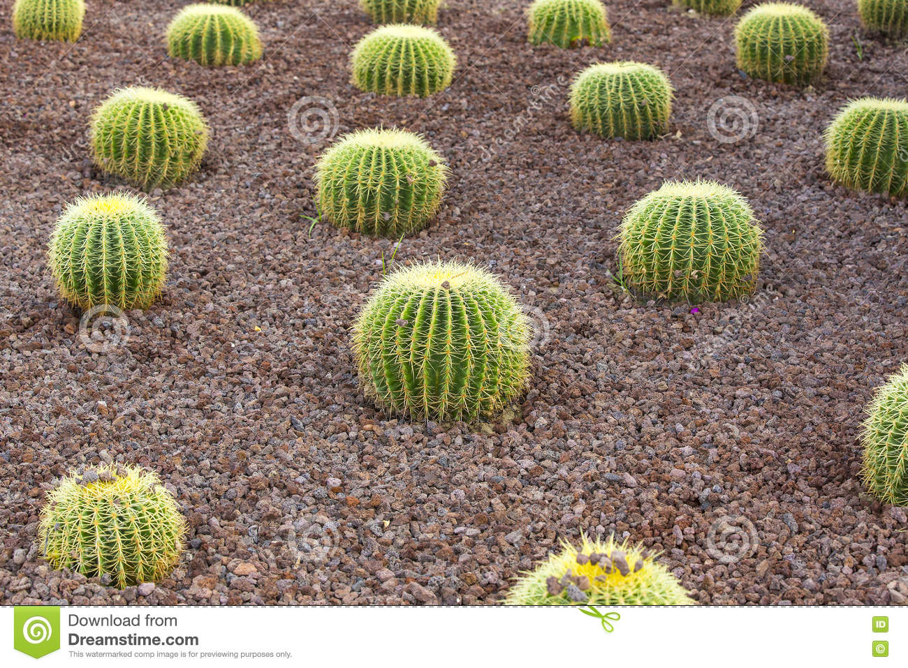 Cacti Shot Close Up Stock Photo Image 80264504