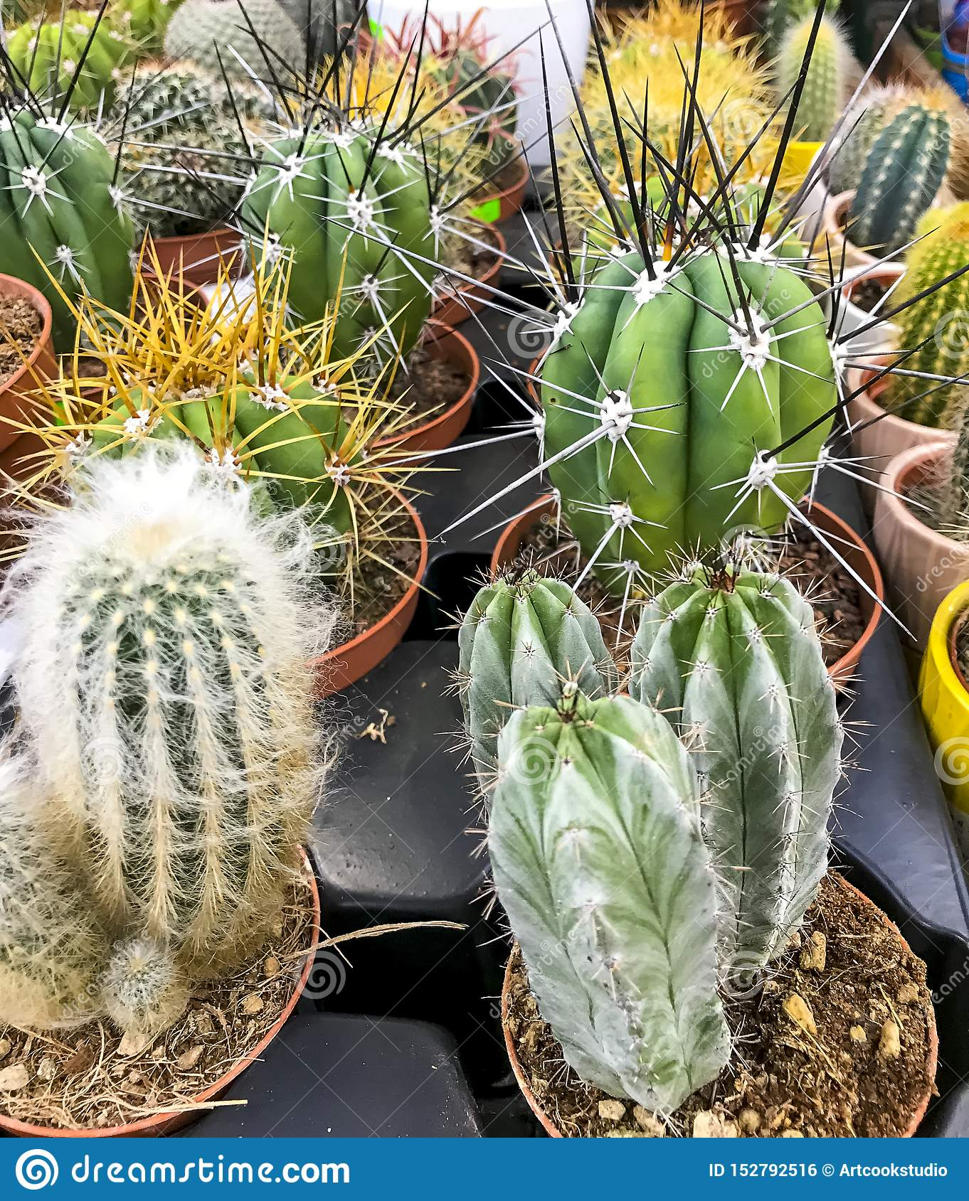 Cacti And Succulents In Containers For Sale Stock Photo Image