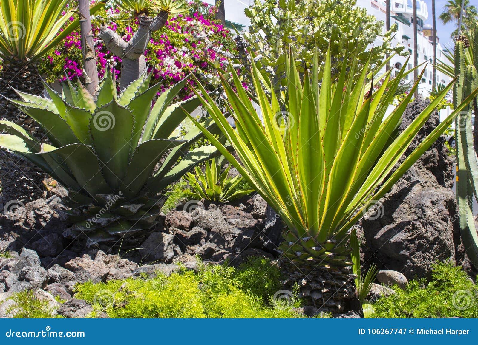 Cactii naturalizado grande en las camas del flwer a lo largo del frente de mar en Playa de Las Américas en Tenerife