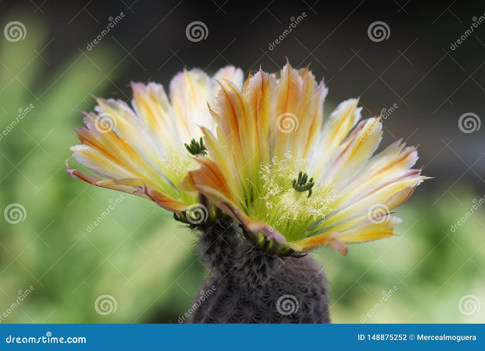 Cacto amarelo da flor no para desativar o fundo do jardim