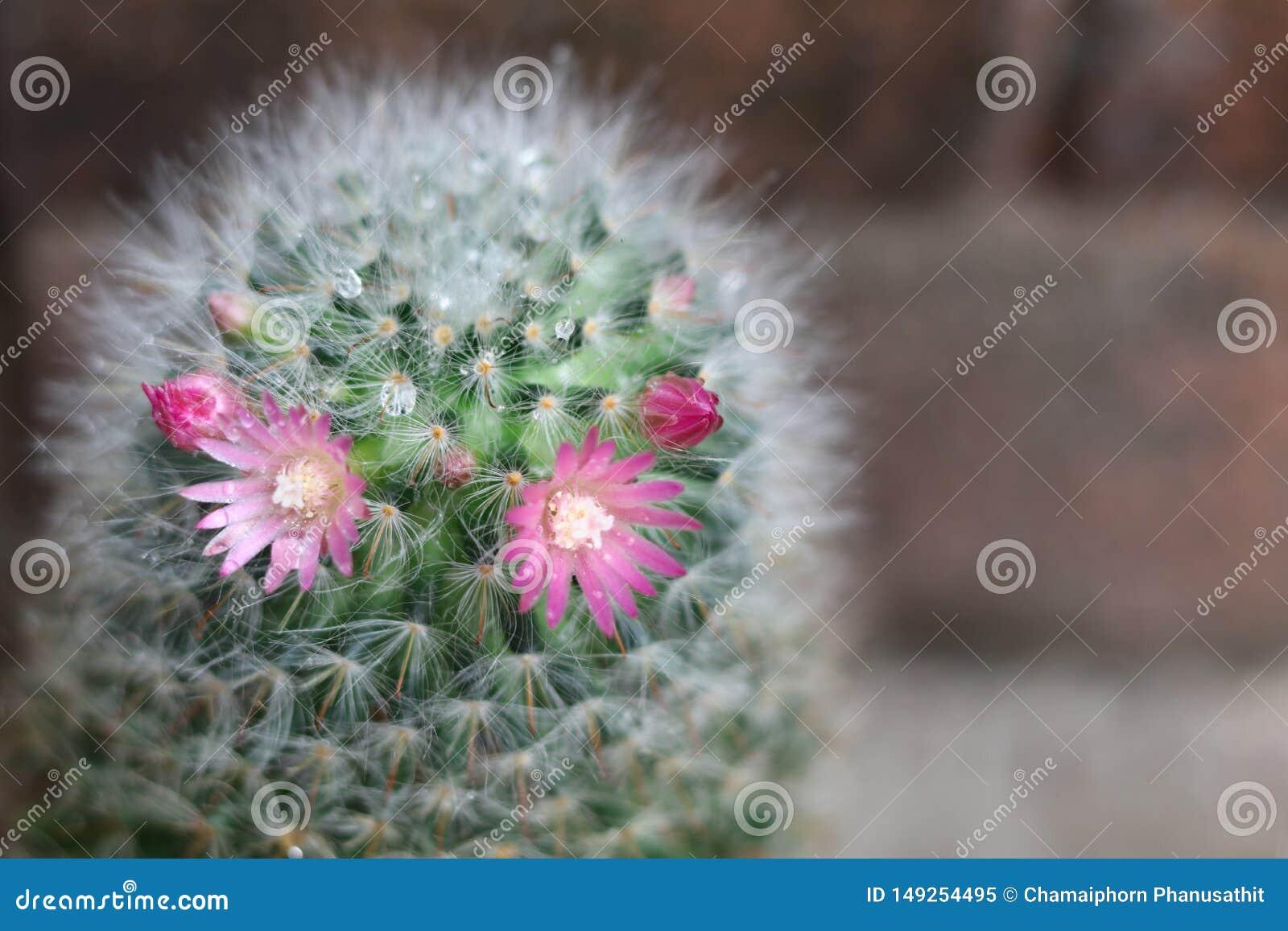 Cacto com florescência da flor