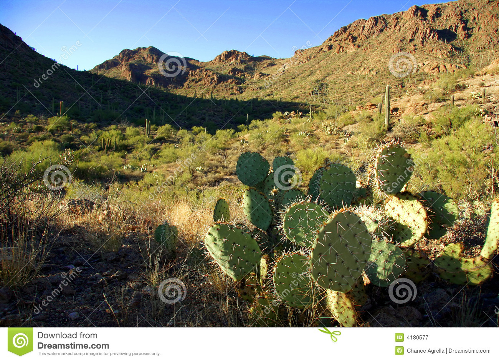 Cacto de pera espinhosa no deserto