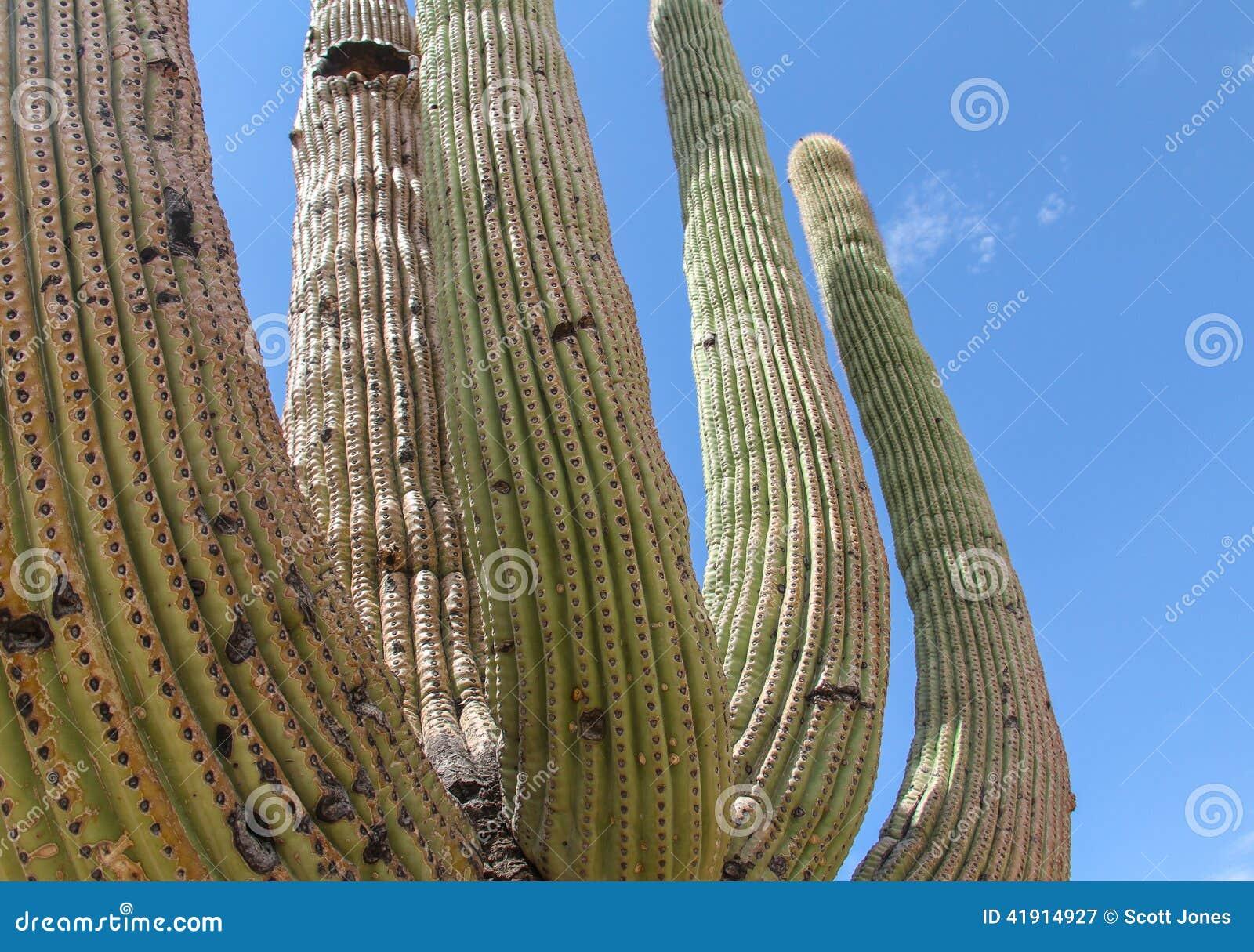 Cacto del Saguaro - brazos entrelazados