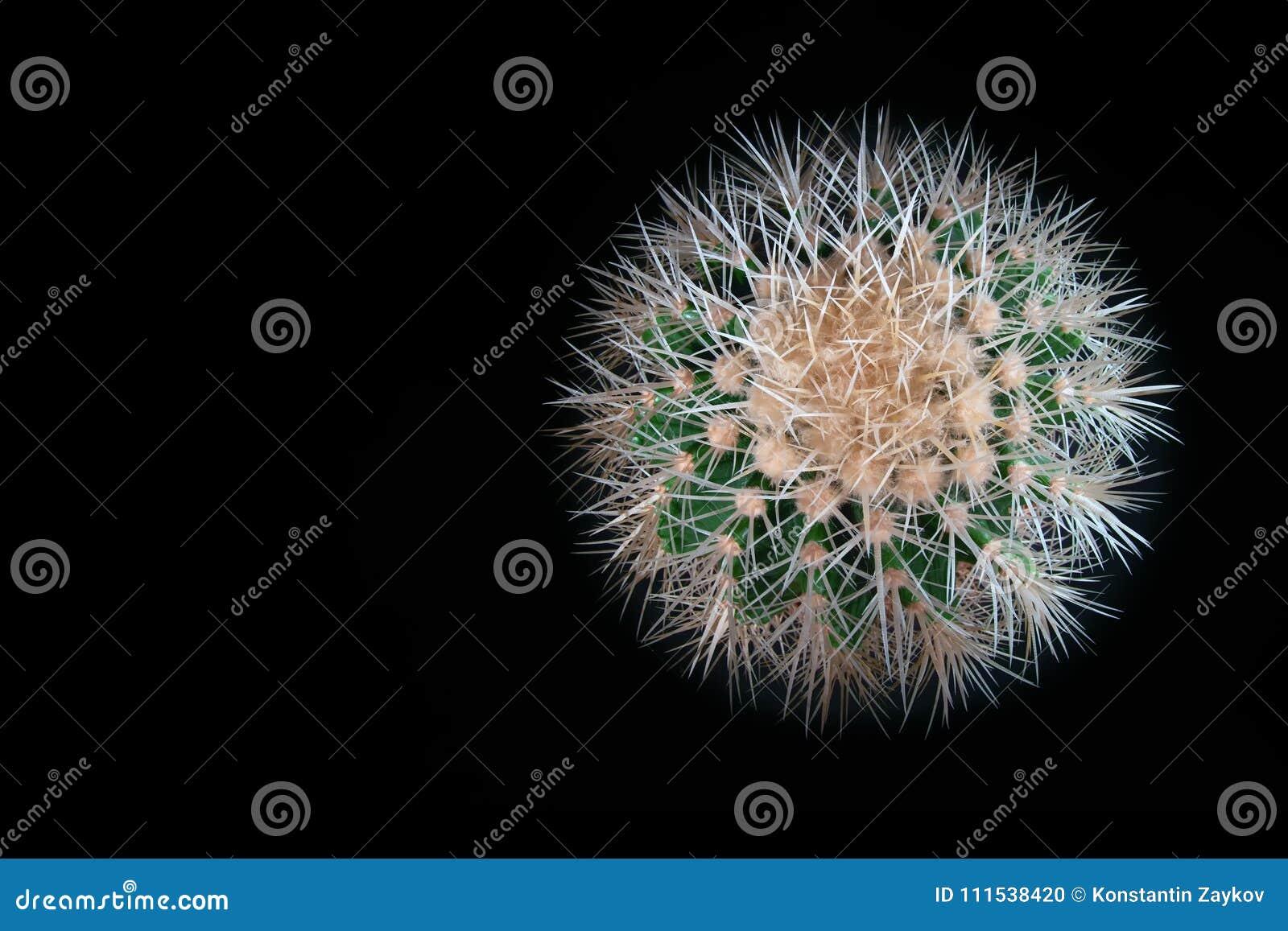 Cacto esférico espinhoso no fundo preto Grusonii de Echinocactus da vista superior com as agulhas brancas longas, espinhos Copie