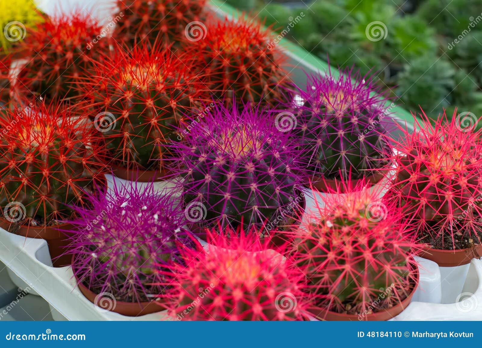 Cactos grandes coloridos foto de stock imagem de - Cactus raros fotos ...