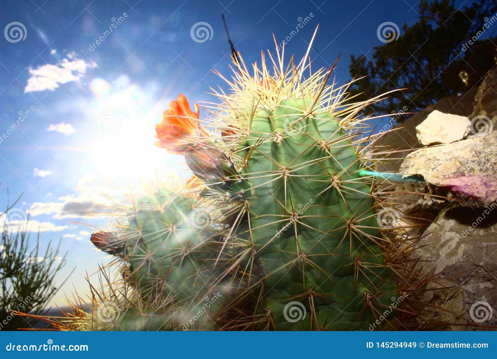 Cactus à la première lumière