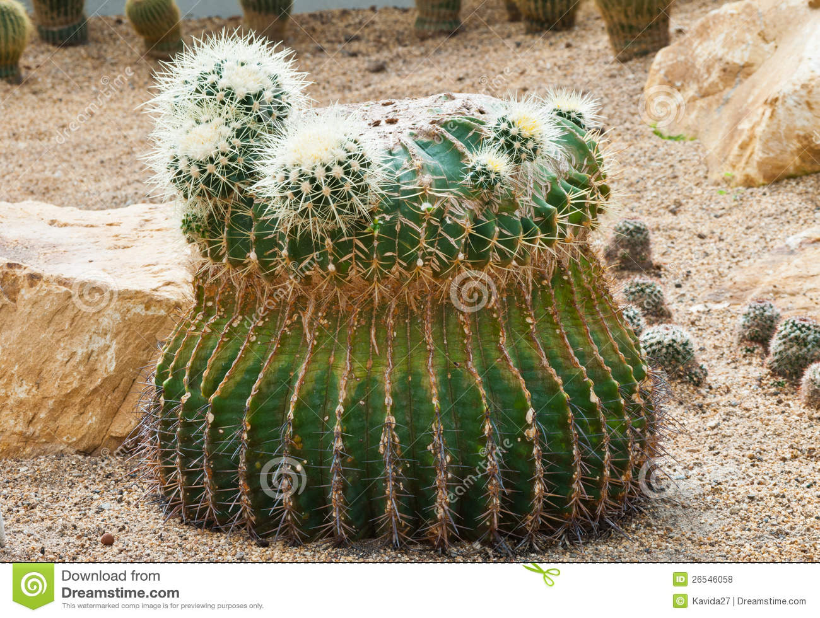 Cactus fotografia stock immagine di semenzale interno - Cactus da interno ...