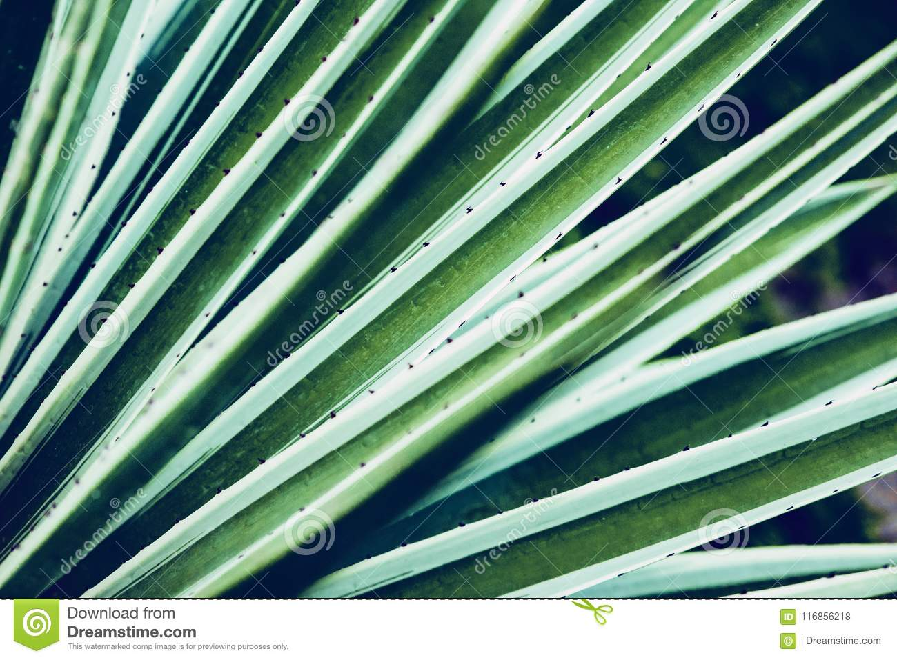 Cactus aloe vera closeup. Natural floral background. The concept of natural geometry
