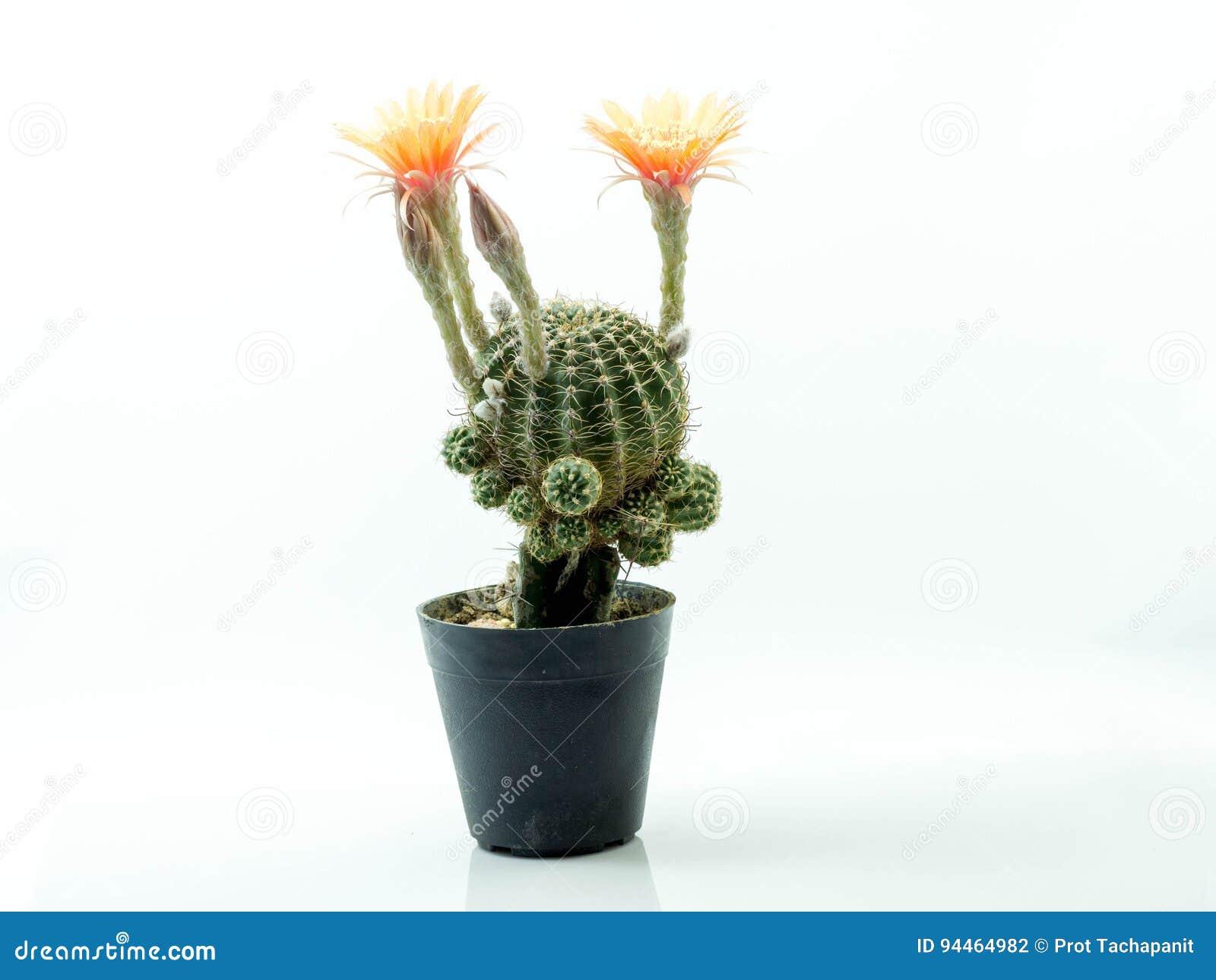 Cactus Avec La Fleur Rose Dans Un Bac D Isolement Sur Un Fond Blanc