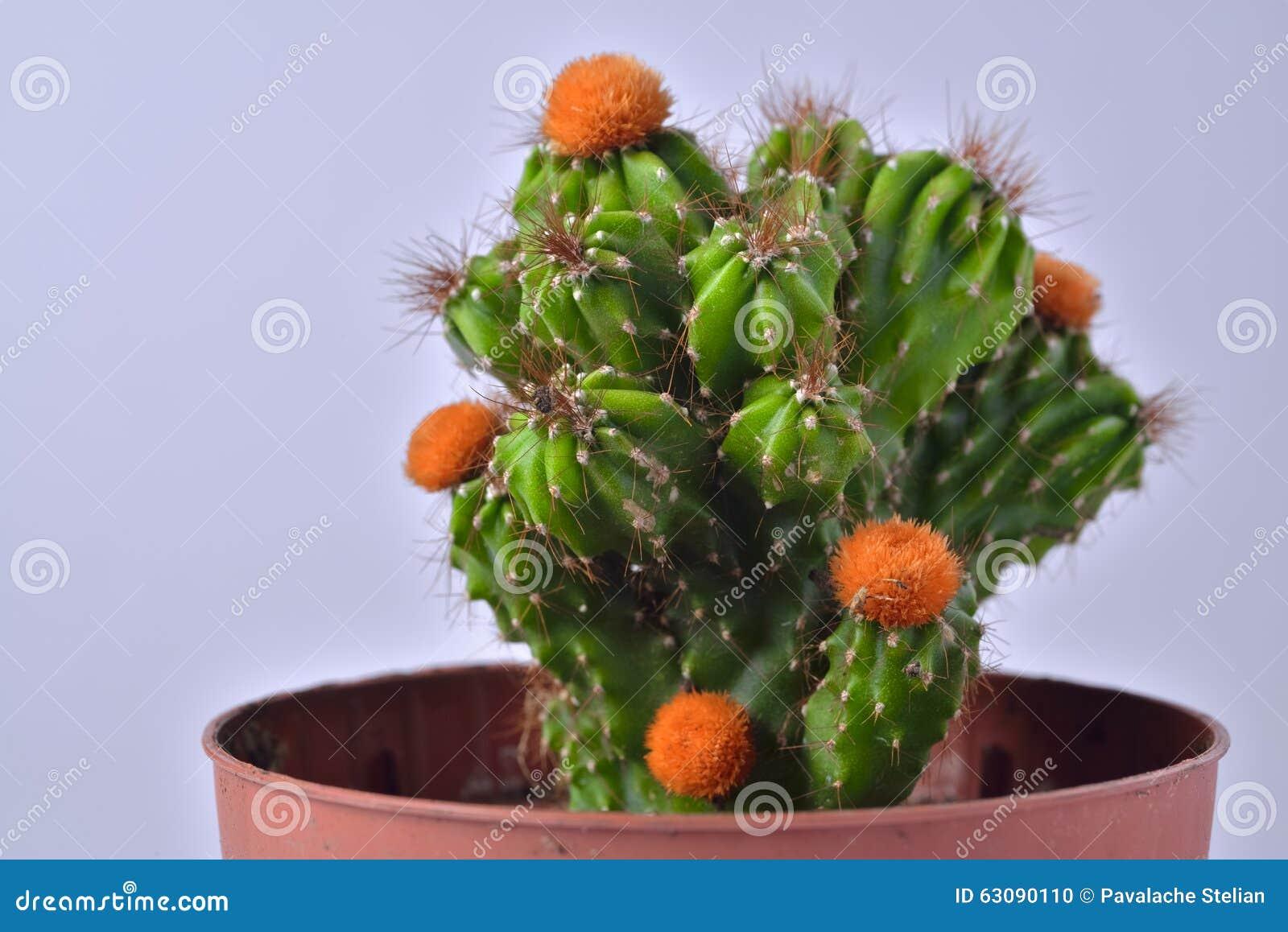 Download Cactus Avec Les Fleurs Jaunes Dans Un Pot De Fleur Photo stock - Image du couleur, cactus: 63090110