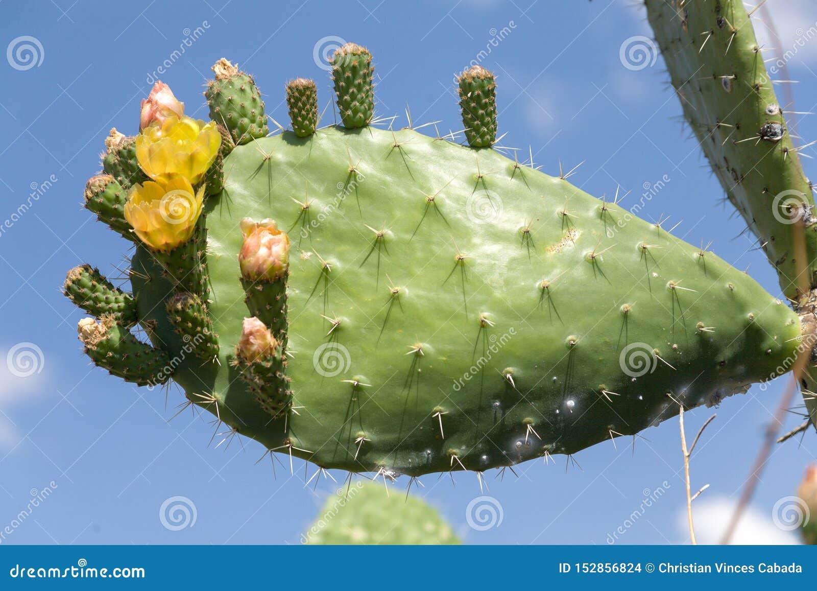 Cactus avec les fleurs jaunes et le ciel bleu comme fond