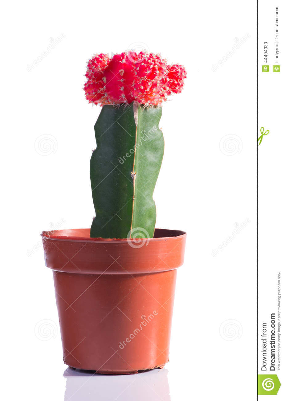 cactus avec une fleur dans un pot image stock image 44404333. Black Bedroom Furniture Sets. Home Design Ideas