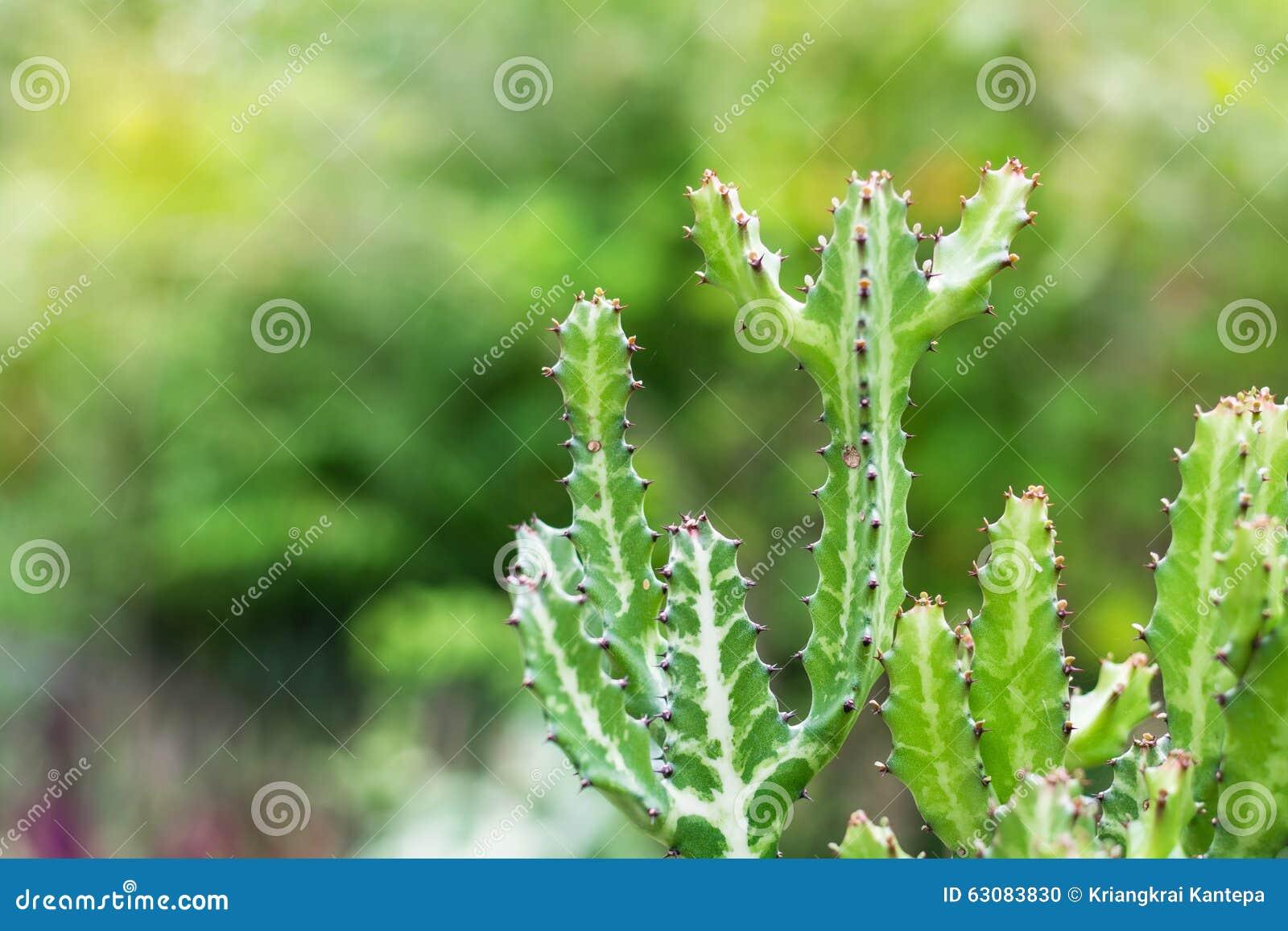Download Cactus, Cactus épineux De Vert Photo stock - Image du conception, lame: 63083830