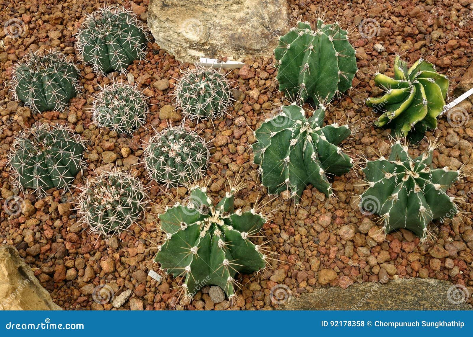 Cactus, capricorne d Astrophytum