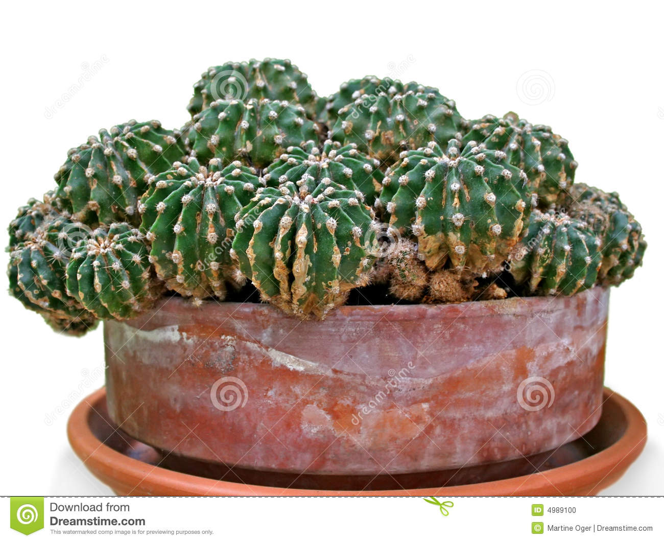 Download Cactus close-up. stock photo. Image of herbal, large, growth - 4989100
