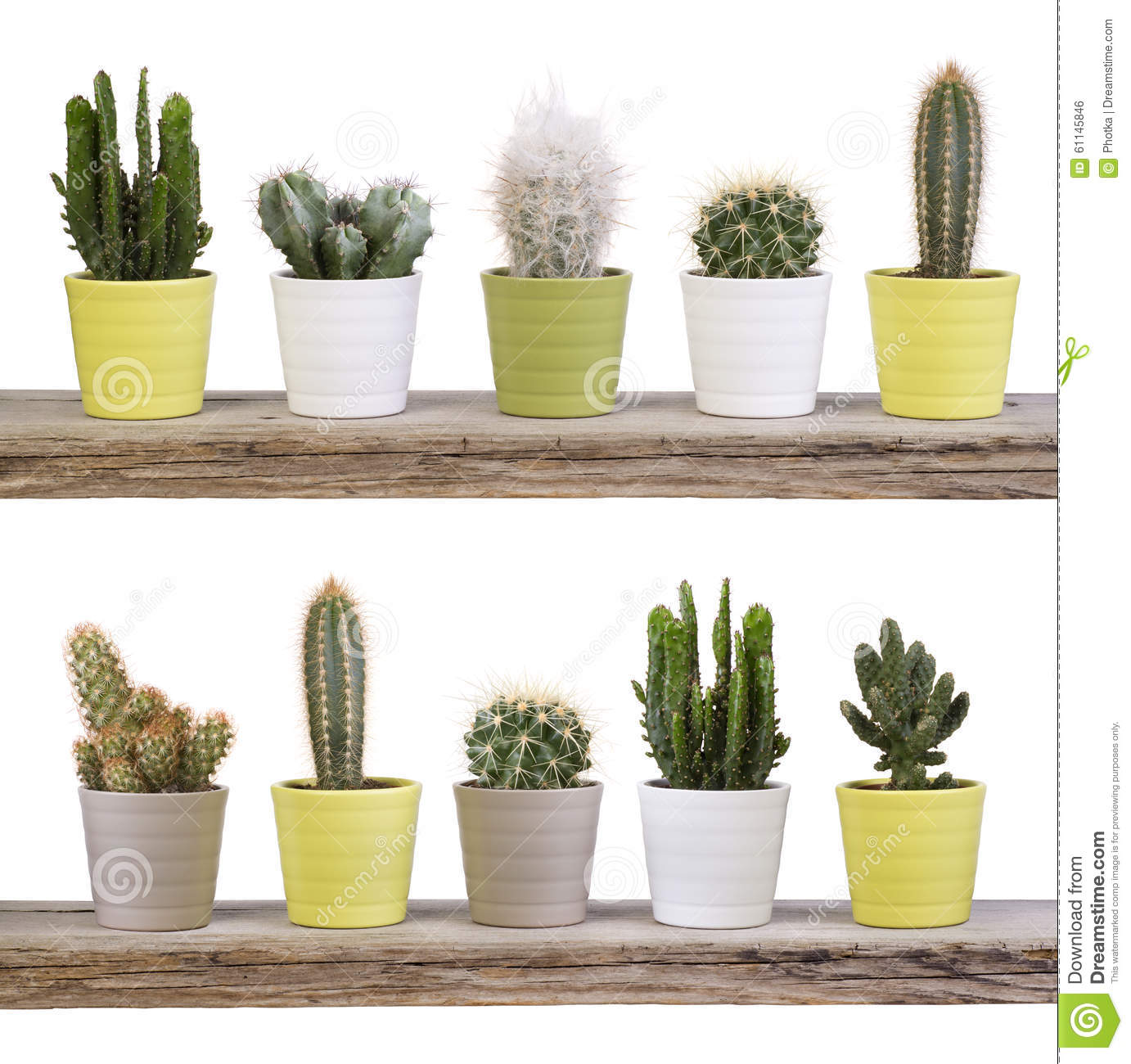 Cactus collection on wooden shelves isolated on white