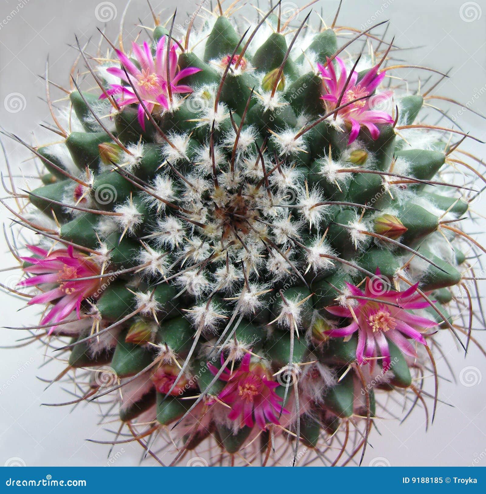 Cactus con i fiori rosa.