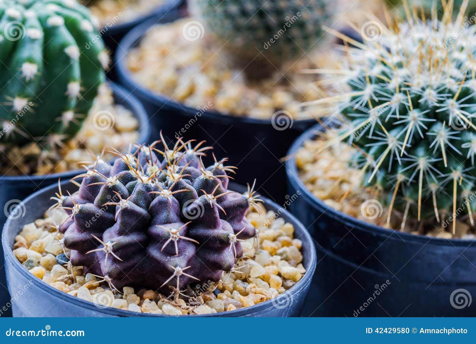 Cactus con las espinas