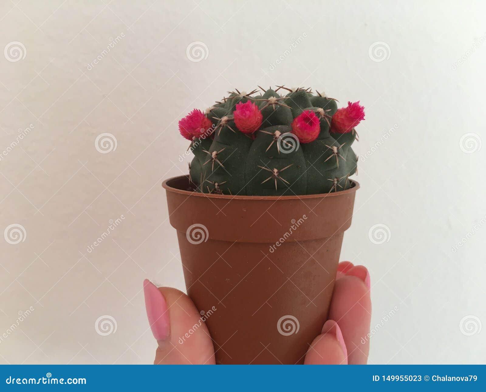 Cactus con las pequeñas flores en el pote a disposición en el fondo blanco foto