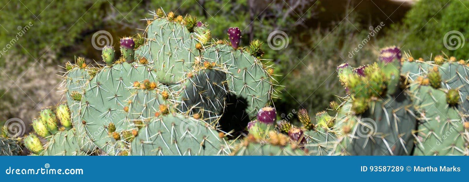 Cactus con marrone della frutta