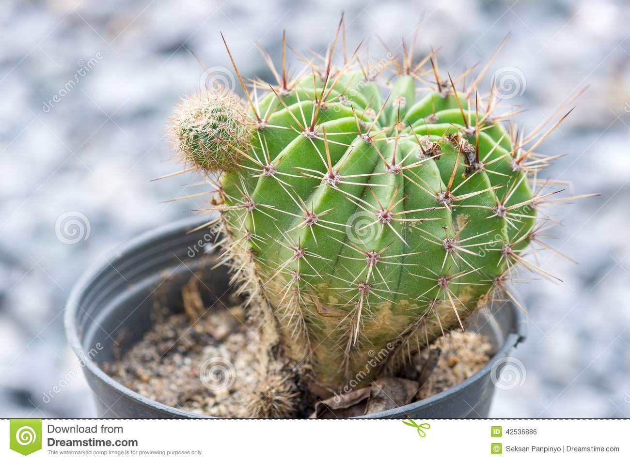 Cactus d or de bille
